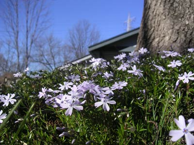 Phlox Blooming